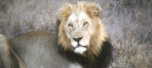 cropped-lion4.jpg
